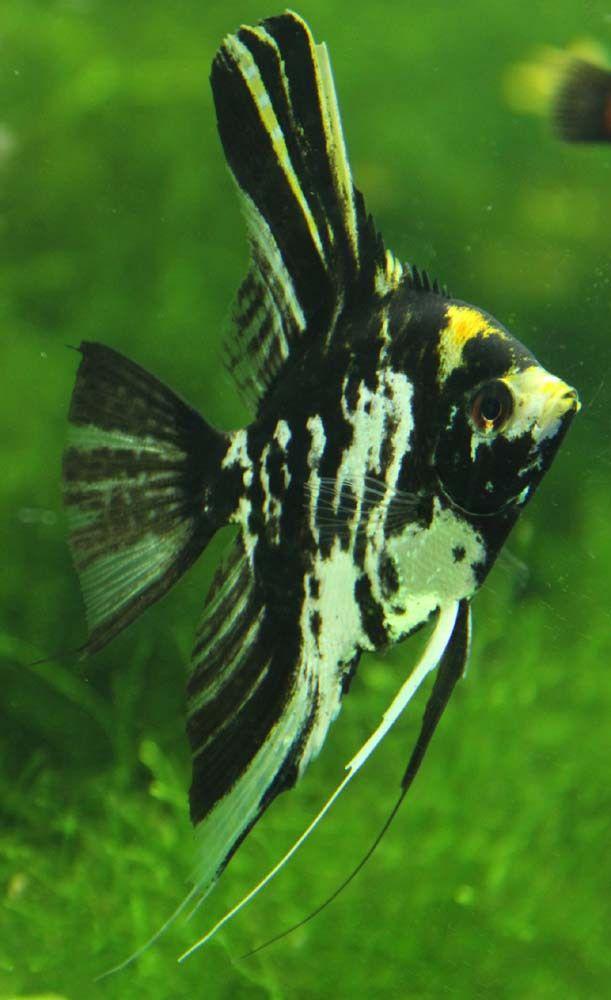 Zebra Angelfish Freshwater Recherche Google Ryba