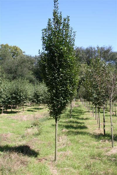 for Ornamental trees that grow in shade