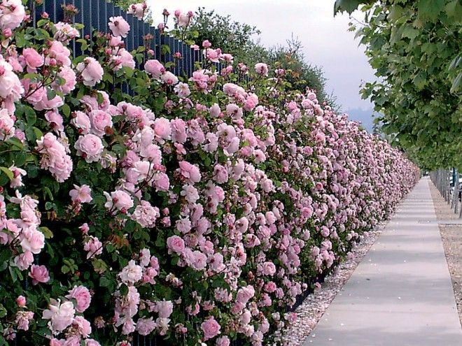 Constance Spry roses, the first of David Austin's English roses, along a sidewalk in Emeryville, California