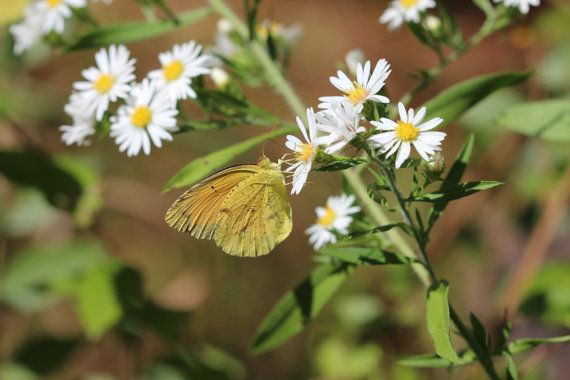 Nature Photography . Digital Download jpg file . Yellow Butterfly . Yellow Green White  . Minimalist Abstract Photograph . Color Photograph