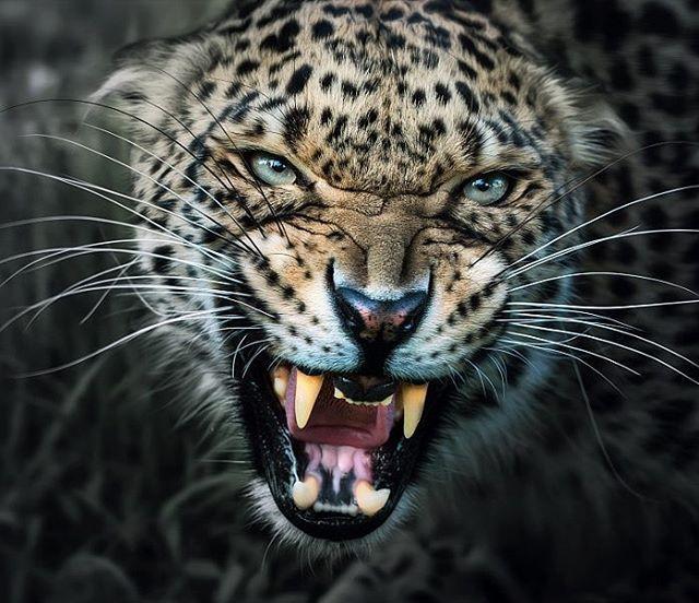 1000 Ideas About Tiger Face Paints On Pinterest