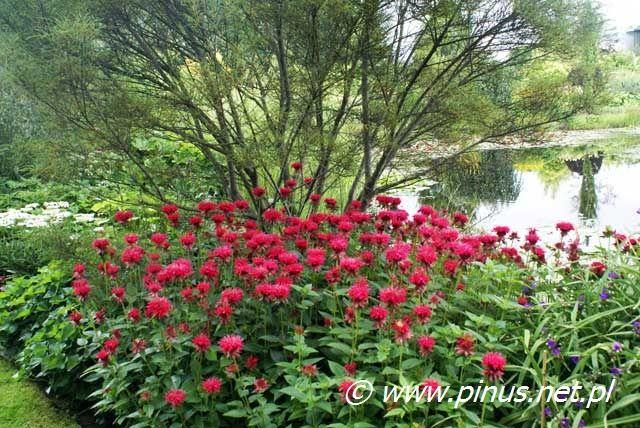 Drzewa I Krzewy Ozdobne Ogrody Rosliny Kwiaty Ogrodowe Iglaki Byliny Sprzedaz I Doradztwo Plants Shrubs Garden