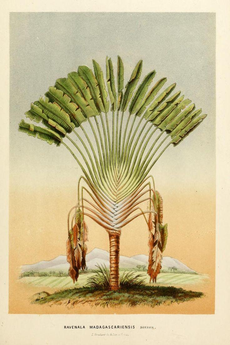 3 - Annales d'horticulture et de botanique, ou Flore des jardins du royaume des Pays-Bas, 1860 Madagascar palm tree
