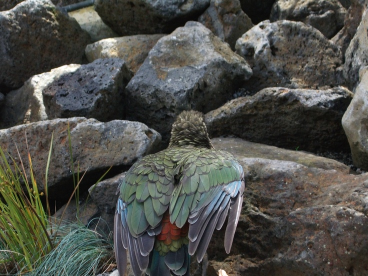 New Zealand Kea (native parrot) at Auckland Zoo