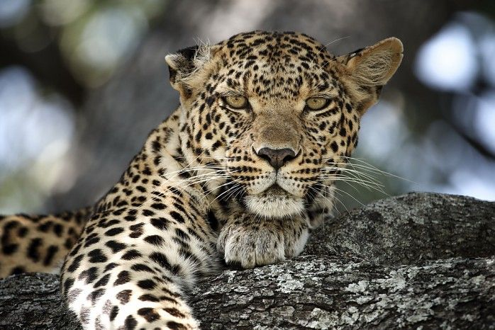 Pula, daughter of the legendary leopard Legadema, at Mombo #Botswana