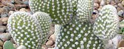 Cuidados de la planta Opuntia microdasys o Alas de ángel.