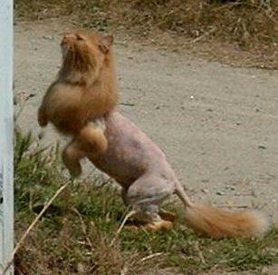 chat rasé