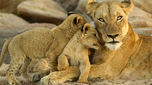 Lionesse with cubs in Kruger National Park, South Africa - One of the best places on earth to go on a safari #kilroy #wildlife #nature #animals