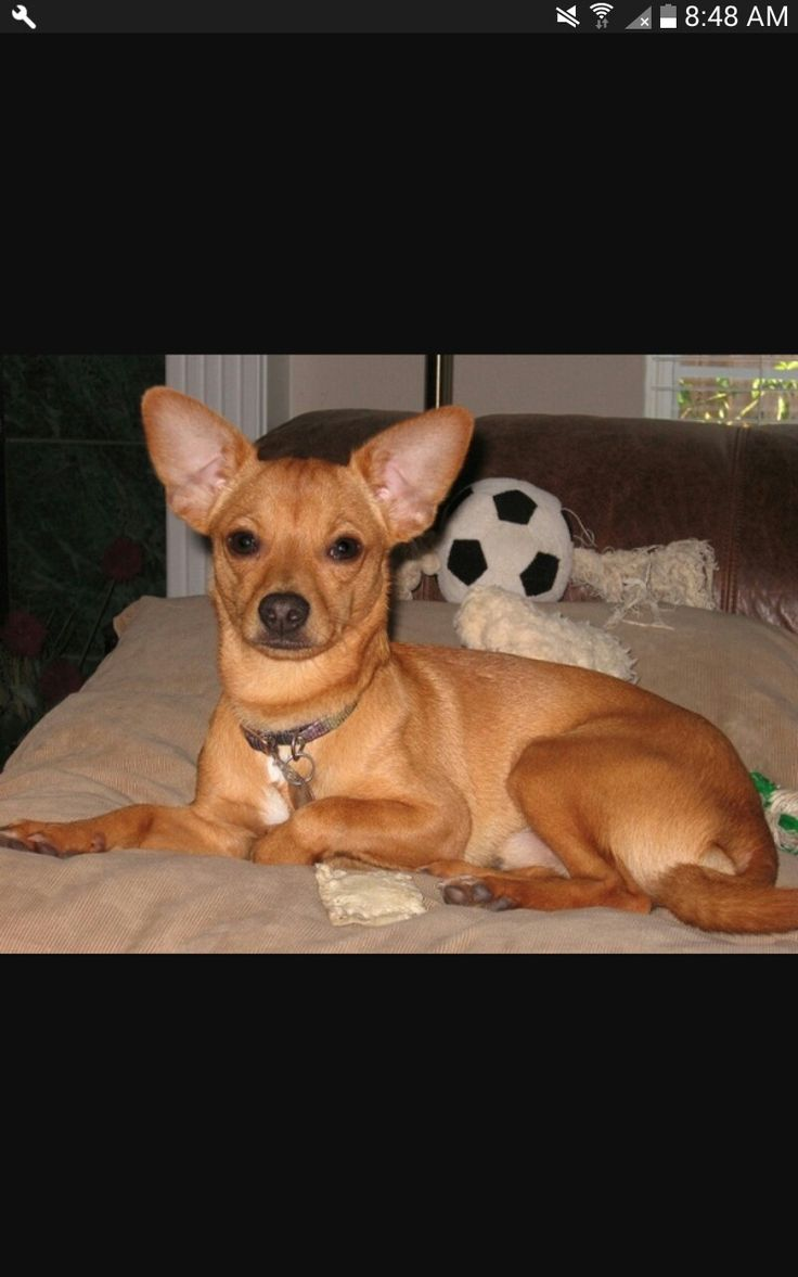16 best Terrier-Chihuahuas! images on Pinterest | Chihuahua ...