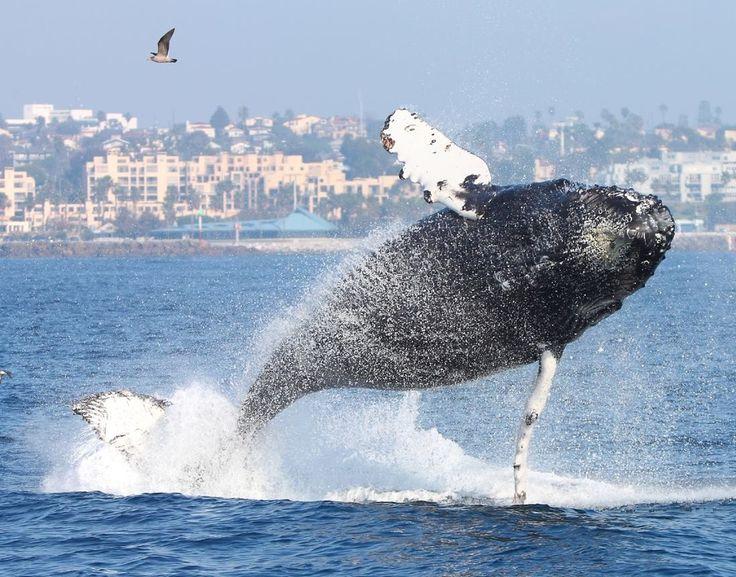 1/13/15 off Redondo Beach Pier.  Almost airborne humpback.