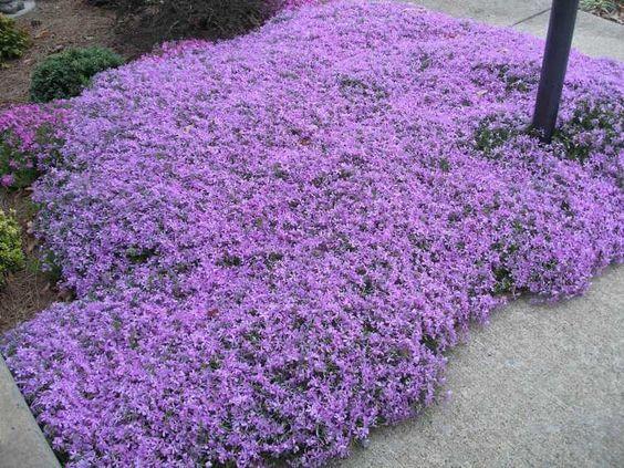 plantes couvre sol fleuries: Phlox rampant en violet pâle: