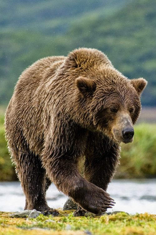 Grizzly, Katmai Coast Alaska by Amazing Views Photography