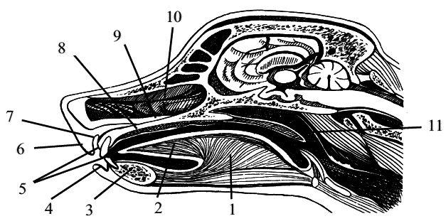 Сагиттальный разрез головы собаки: 1 – тело языка (corpus linguae), 2 – кончик языка (apex linguae), 3 – нижняя челюсть (mandibula), 4 – нижняя губа (labium mandibulare), 5 – резцовые губы (dentes incisivi), 6 – верхняя губа (labium maxillare), 7 – предверие рта (vestibulum oris), 8 – ротовая полость (cavum oris), 9 – твердое нёбо (polatum durum), 10 – носовая полость (cavum nasi), 11 – мягкое нёбо (polatum molle