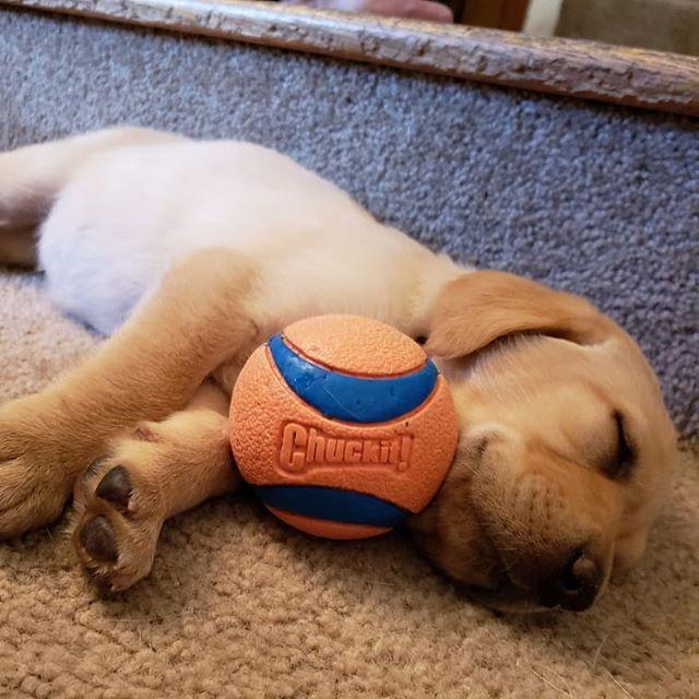 Golden Retriever Puppy Asleep With His Chuckit Ultra Ball