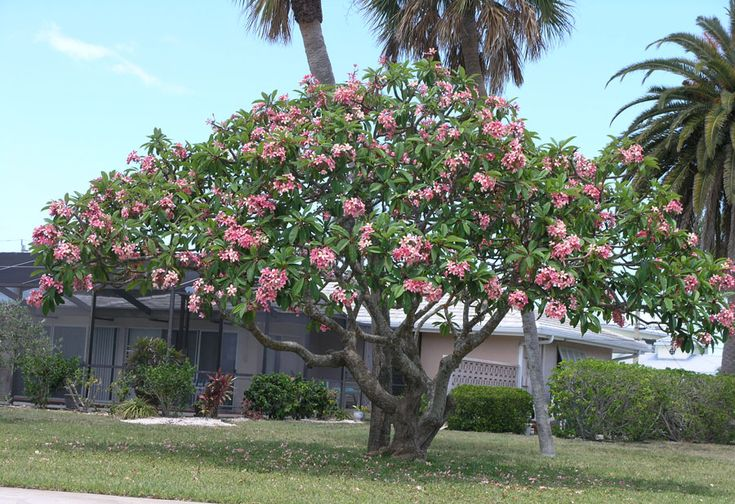 Plumeria tree in Florida - Plumeria Nursery in Seffner, FL