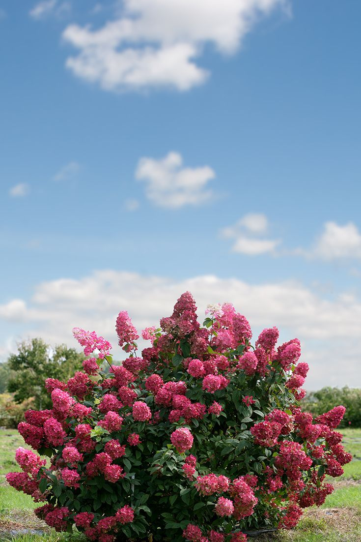 The Pomegranate Red Blooms Of Fire Light® Hydrangea Are An Eye Catching Part