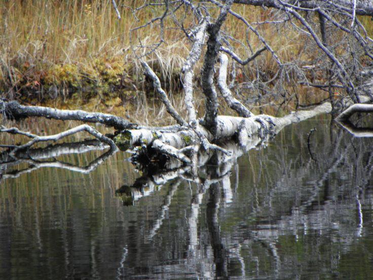 Kuusamo Tree in the water.