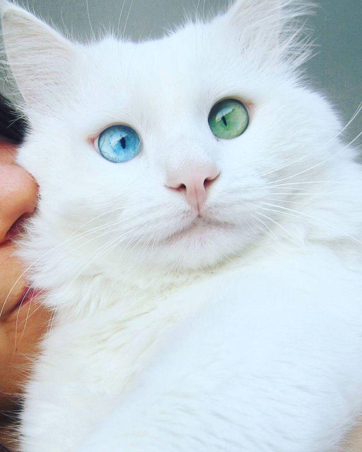 Hier ist Alos, eine 2-jährige Van-Katze mit leicht gekreuzten blauen und grünen Augen … – Tiere