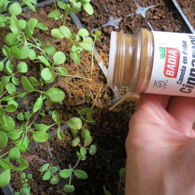 Using Cinnamon on Seedlings.Cinnamon has some anti-fungal qualities and it smells great as a bonus