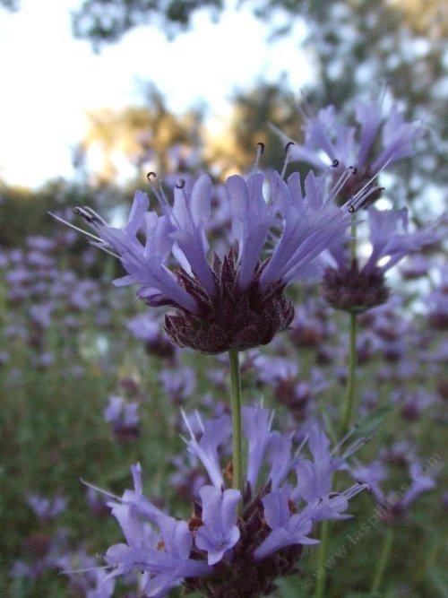 132 best full sun flowers images on pinterest flower for Purple flower shrub california