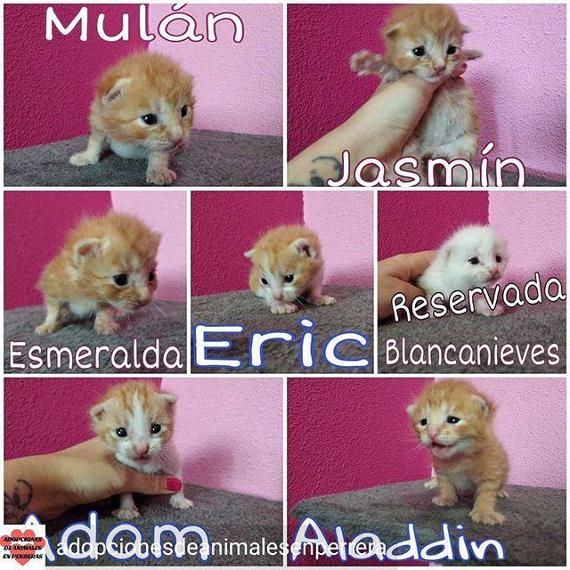 Reposted From Adopcionesdeanimalesenperrera Gatos Adopcion Nocompres Ayuda Animales Hogar Os Presentamos Bien A Los 7 Gatitos Be Teddy Bear Animals Teddy