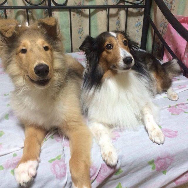 ベル&マリ #ラフコリー #多頭飼い #coller #愛犬 #コリー #シェルティ