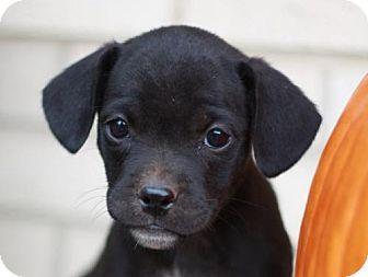 Danbury, CT - Pug/Chihuahua Mix. Meet Tyson, a puppy for adoption. http://www.adoptapet.com/pet/16952591-danbury-connecticut-pug-mix