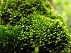 Types of Moss to Use in a Moss Lawn or Moss Garden - SweetBrick