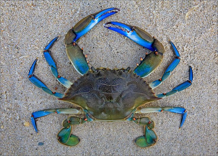 Blue Crab : Cape Cod, MA : Patrick Zephyr Photography