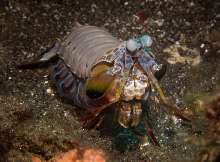Mantis Shrimp . Critters @ Celebes Divers