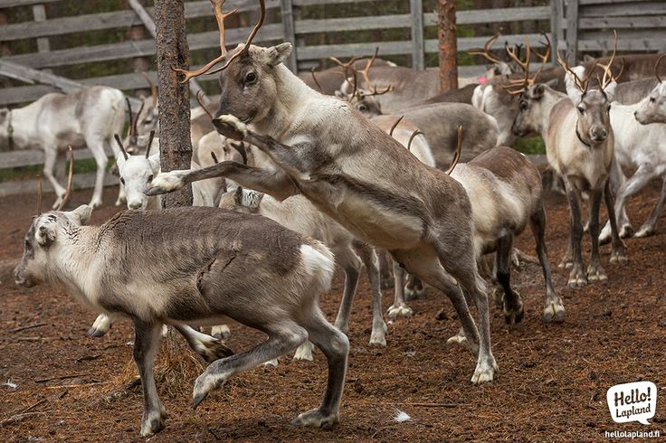 Young reindeer are challenging each other in times of the reindeer's love season in Autumn.