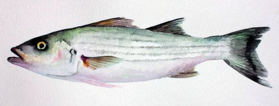 Striped Bass Fish Painting