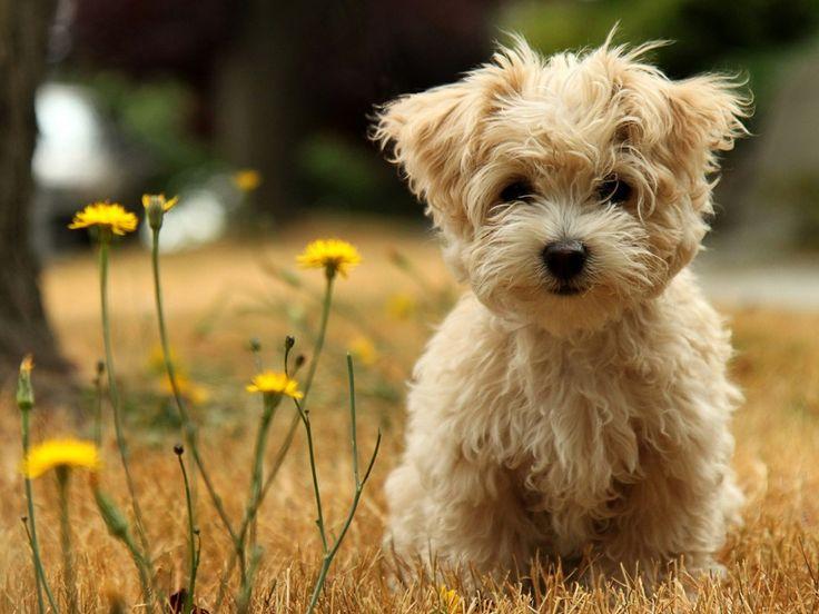 Morkie (Maltese Yorkie): Small Dogs, Cutest Dogs, Teddy Bears, So Cute, Fluffy Puppys, Cute Puppys, Little Puppys, Cute Dogs, Little Dogs