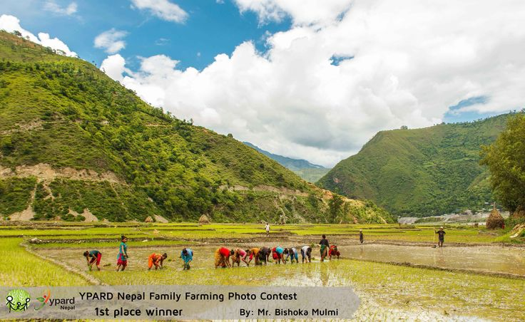 "Winning picture of the YPARD Nepal Family Farming Photo Contest: ""Rice Transplanting""   http://www.ypard.net/news/announcing-winners-ypard-nepal-family-farming-photo-contest"