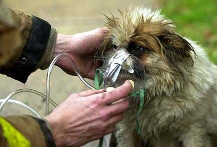 Firefighter administers oxygen to a small dog rescued from a fire.   Shared by LION