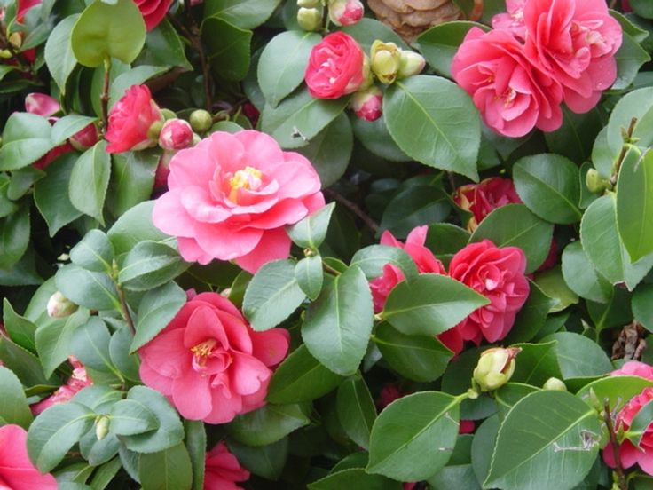 Camellia  - 10 Best Small Evergreen Shrubs: Flowering and Foliage - EnkiVillage