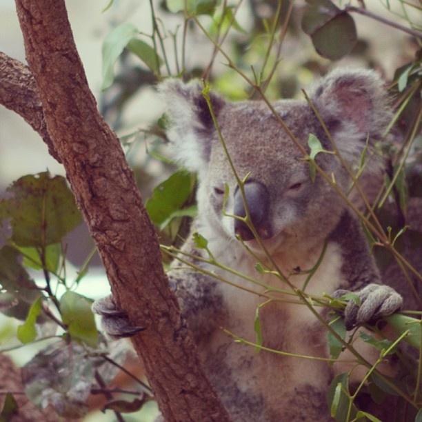 Koala at Wild Life World, Sydney