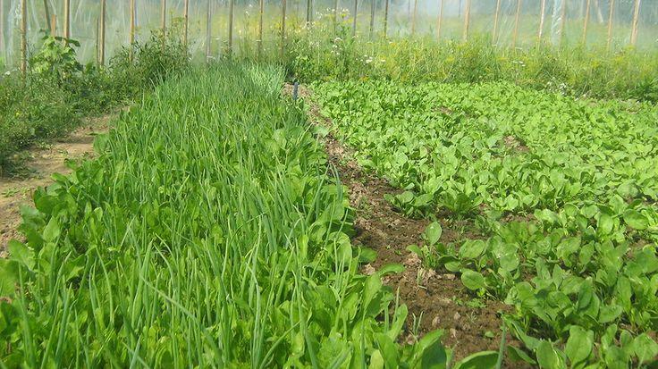 Холодостойкие огородные растения