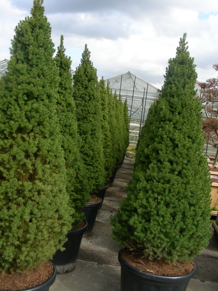 A Miniature Cone Shaped Evergreen Tree Commonly Known As
