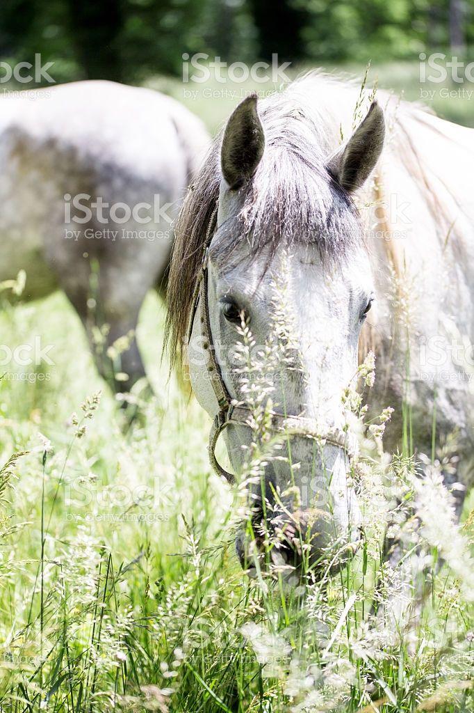 lipizzaner stallion hidden by the grass in outdoor scene foto stock royalty-free