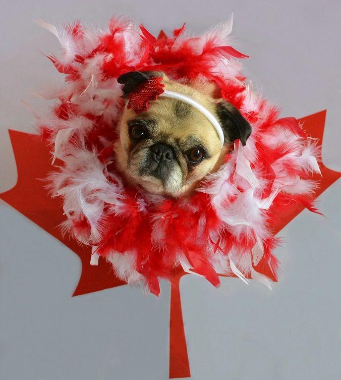 Happy Canada Day! Pug #pug #dog #Canada #CanadaDay #Canada150 #costume #pets #party #celebration #Canadian