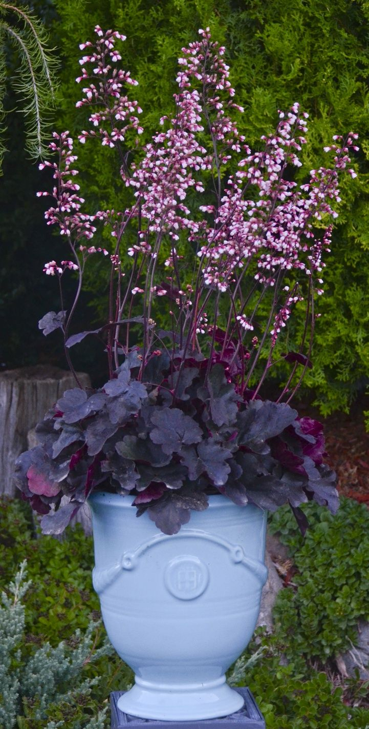 Dolce Brazen Raisen has dramatic, nearly black foliage, and is topped by showy pink flowers in the summer that age to white. No worries about driveway salt bothering this variety in a border. Hardy to zone 4.