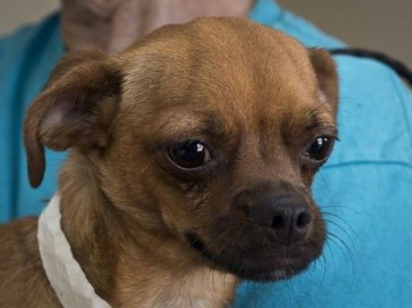 Chihuahua And Mixed Breed Mixed Dog For Adoption In Ojai