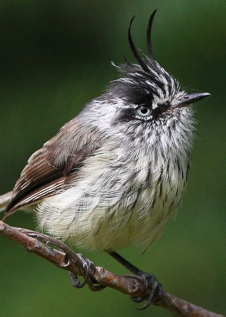 Tufted Tit-tyrant, Anairetes parulus, tyrant flycatcher family: W S.A.; its range extends from S Colombia south along the Andes Mtns to Tierra del Fuego