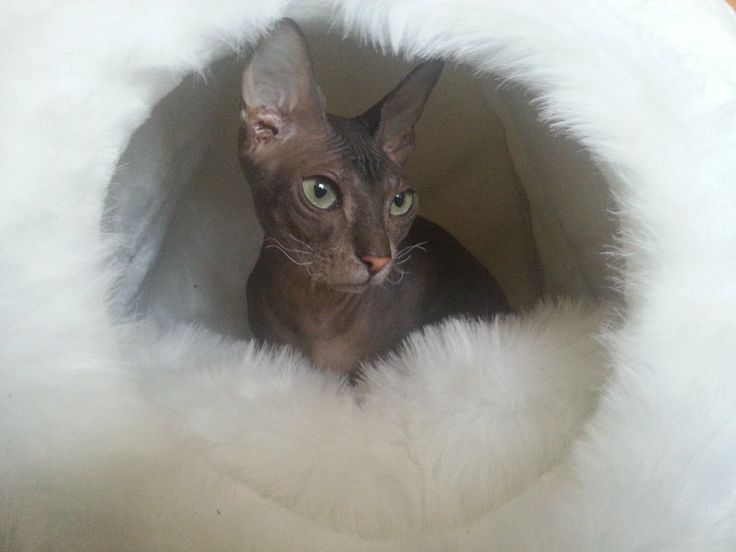 waiting her first litter, my wonderful queen of Chatterie de Geysir