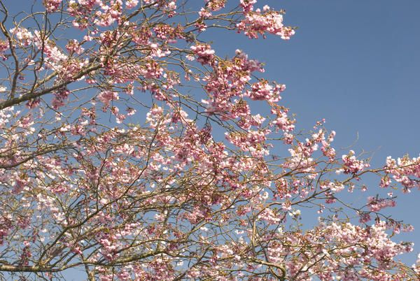 Love this image: Tree branches covered in fresh pink cherry blossom against a clear blue sky in spring - By stockarch.com user: stockarch
