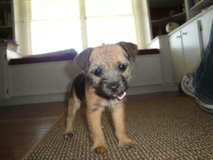 """Border Terrier puppy """"Roxy"""""""