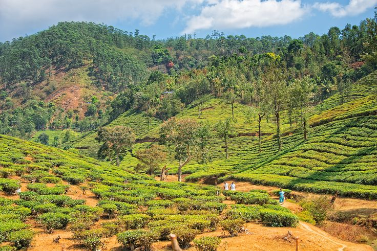 https://flic.kr/p/p5yQbW | Tea Plantation in Thekkady, Kerala, India
