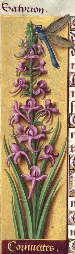 Cornuettes - Satyrion (Orchis laxifiora Lam. (=?) Orchis à fleurs lâches, variété à fleurs roses) -- Grandes Heures d'Anne de Bretagne, BNF, Ms Latin 9474, 1503-1508, f°65v