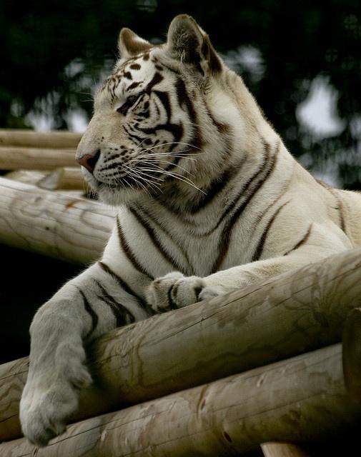 Beautiful White Tiger